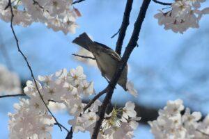 No More Blossoms